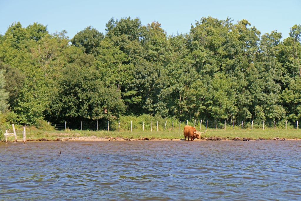 boeuf au bord du lac