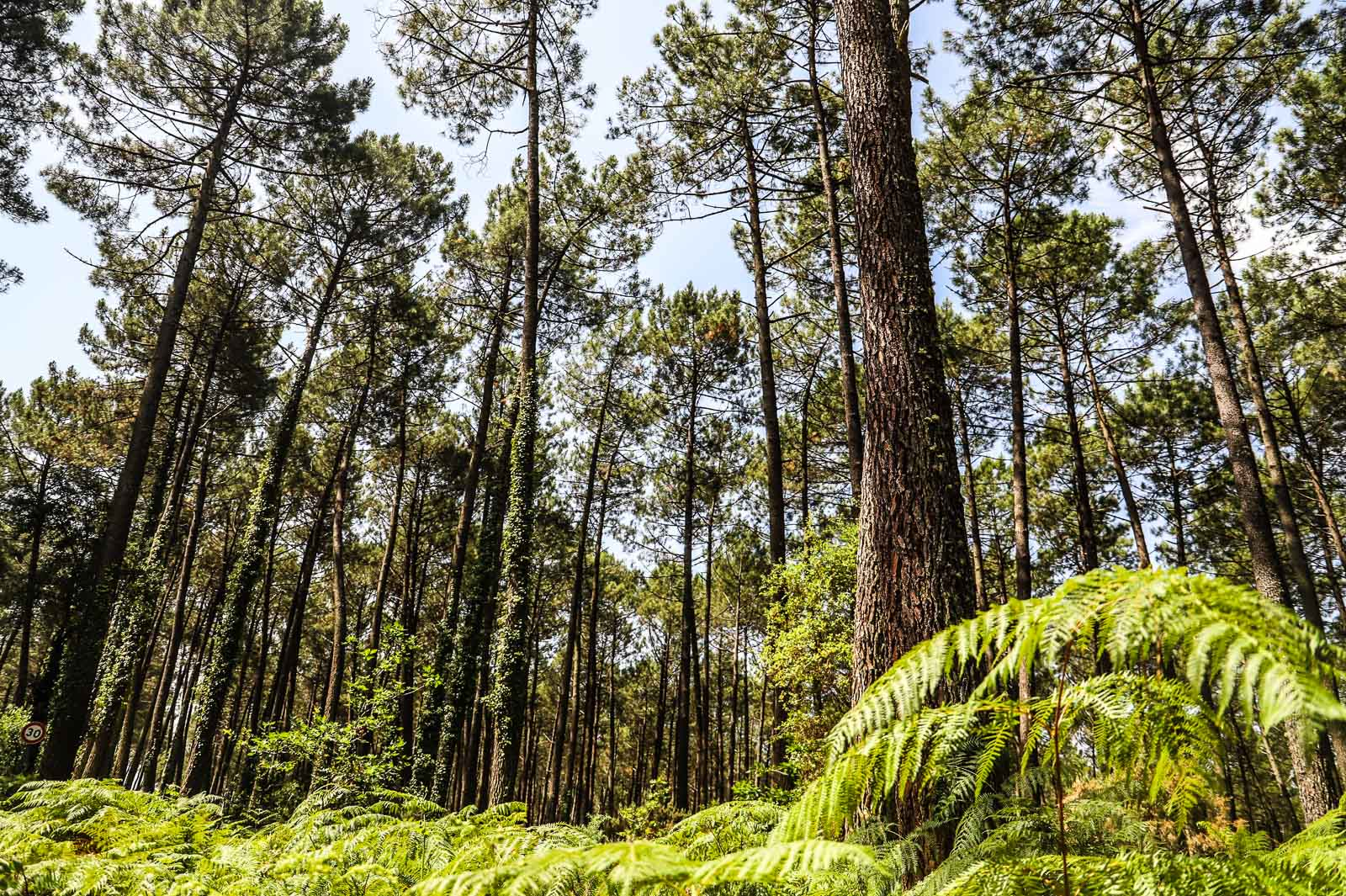 Forest of the Landes